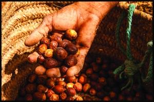 堅果名副其實是一些很堅硬的種子,摩洛哥婦女會從搭取到取殼以致榨取油均一手包辦。